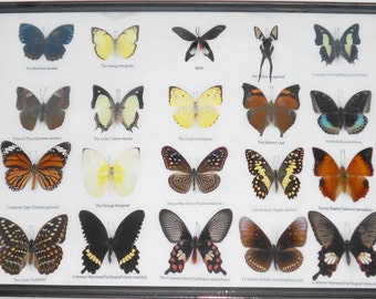 REAL 20 MIX BUTTERFLIES Collection Taxidermy Framed/BTF13B