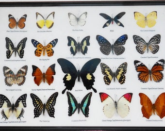 REAL 20 MIX BUTTERFLIES Collection Taxidermy Framed/BTF13H