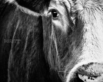 Big Black Angus Cow Art Closeup - Farm Animal - Cattle -Photography -Cow Print -Home Decor Fine Art Print - Black And White - Wall Art