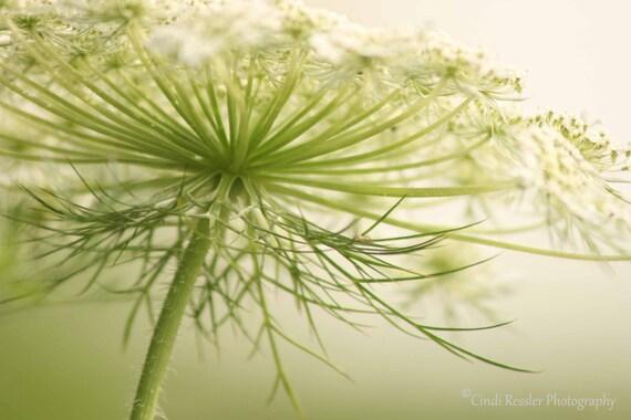 Photography, Queen Anne's Lace 5, Nature, Garden, Botanical, Wall Art, Fine Art, Flower, Housewarming Gift, Home Decor, Floral, Wall Decor