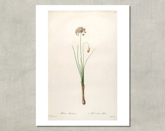 Wild Onion Botanical Print, 1805 - 8.5x11 Reproduction Antique Print - also available in 11x14 and 13x19 - see listing details