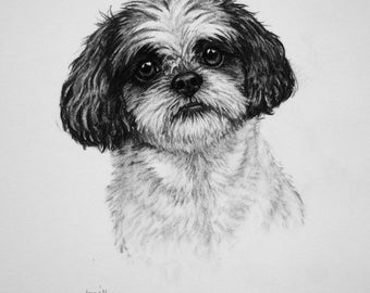 Shih Tzu dog art dog print dog gift dog lover gift toy dog fine art Limited Edition print from an original charcoal drawing by H Irvine