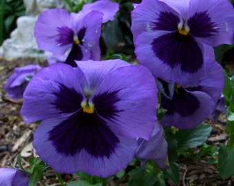 Purple Pansies (FREE SHIPPING in the U.S. only)