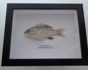 01069 Real Frame Bridled Monacle Bream- Scolopsis bilineatus