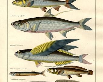 Fish hand colored print published 1842 large print original authentic print natural history aquatic life ocean life Antique