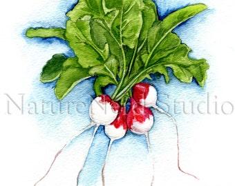 "Radishes - Watercolor, 8"" x 10"" Fine Art Print"