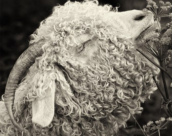 "Goat Art, Angora, Black and White, Sepia,Farm Animal, Farm Decor,Nature Art Print, Goats of Roan, ""Al dente"""