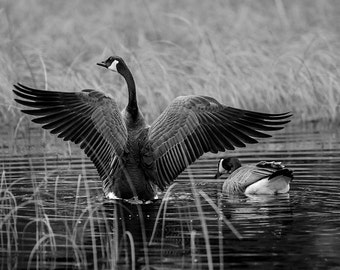 Fine Art Photograph of Canada Goose Pair on Wisconsin Lake