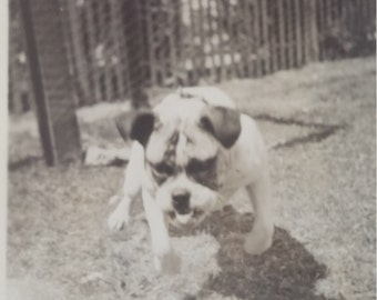 Vintage Bulldog Photo Chained Bulldog lunging