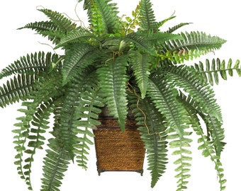 FERN PLANT (Plants/Root) Shade Loving Plant,Low growing ,Zone 4 - 8