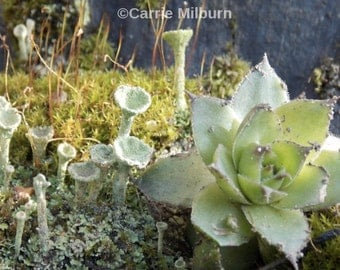 Garden Photography Digital Download Photograph, Lichen, Succulents, Moss