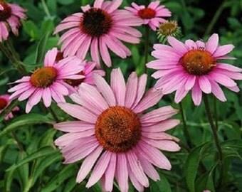25+ Rose Purple Bravado Echinacea Flower Seeds