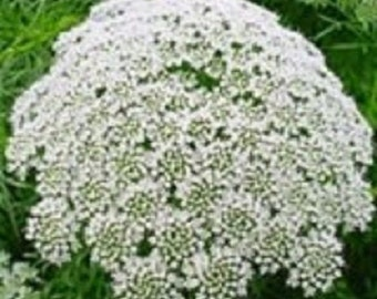 50+ Ammi White Queen Anne's Lace / Annual Flower Seeds