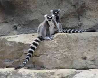Ring-tailed Lemur 1