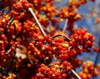 American Bittersweet Vine-Celastrus Scandens *  10 Seeds