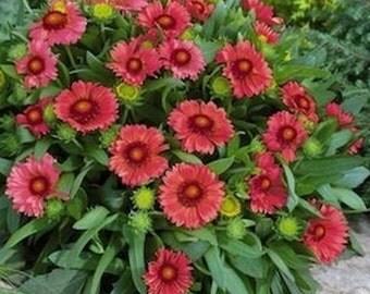 Gaillardia Arizona Red * Blooms First Year Perennial!!  25 seeds