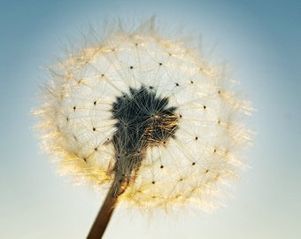 Dandelion photography, dandelion print, 8x10 dandelion, fine art photography, dandelion wall art, dandelion puff, flower print, botanical