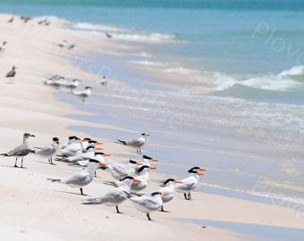 Florida Beach Photography // Royal Terns on the Beach // Shorebird Print