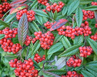 Cotoneaster salicifolius , Willow leaved Cotoneaster