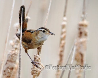 Fine Art Bird Photography | Marsh Wren | Wild Bird Photo | Bird On Cattails | Swamp Animal | Spring Brown Tan Wall Decor | Marsh Wren Print