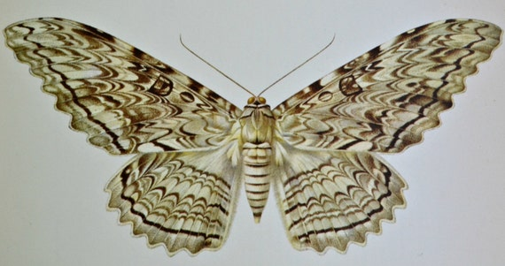Vintage color book plate. Old print. Butterfly Thysania agrippina. 1966 illustration. 8 x 10'1 inches or 20'5 x 26 cm.
