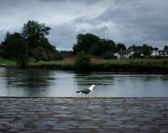 Seagull, original fine art photography, print, scotland, callander, river, water, nature, landscape, teith, cloud, dark, bird, animal