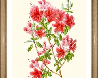 """Botanical Print. Azalea Flower Prints. Azalea Print.  5x7""""  8x10"""" 11x14"""""""