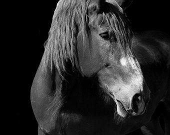 Draft Horse Fine Art Print, Belgian Heavy Horse and Animal Photography, Farm Animal, Equine Wall Art