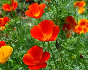 Bright Orange California Poppy Flower Seeds / Eschscholzia / Annual 100+