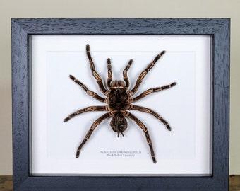 Black Velvet Tarantula in Box Frame (Acanthoscurria insubtilis) Real Spider Frame