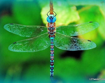 Dragonfly Photo, Insect Photo, Nature Photo, Blue, Darner, Dragonfly Art, Macro Photography, Home Décor, Photography, Color, L. Dustin Twede