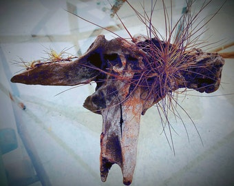 Driftwood airplant