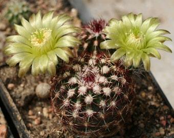 Echinocereus Viridiflorus * Hedgehog * Rare Flowering Cactus * Hardy * 10 Seeds