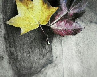 Autumn Photograph, Maple Leaves Art Print, Fall Photography, Colour Splash Wall Art, Colour Selection Wall Decor - Rustic Leaves