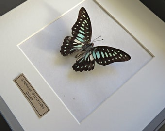 Real Butterfly: Graphium chironides in wooden frame, shadow box