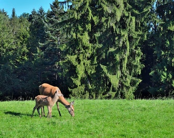 red deer with a fawn