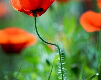Wall Art Poppy Flower