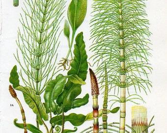 1960's Vintage Plant Print, Botany, Botany Print, Botany Lithograph, Botany Plate, Botany Print, Botany Wall Art, Plants, Plant Print,