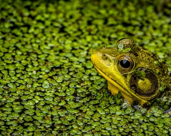 Digital Download: Green Frog photo