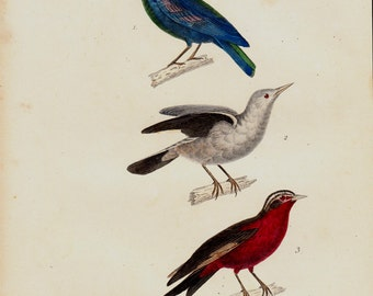 1839 Antique BIRD print of lovely songbirds, Starling, antique hand colored ornithology print, vivid colors