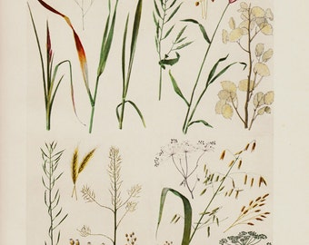 1903 Antique BOTANICAL print, Cereals, wheat, oats, barley. Chromolithograph, 12 x 9 inches