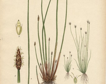 COMMON SPIKE RUSH  Botanical 1905 Book Page Grass  Illustration Wildflower Drawing Plate  424