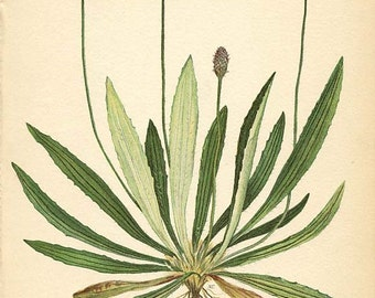 Botanical Weed Illustration Book Page  52 - RIB GRASS