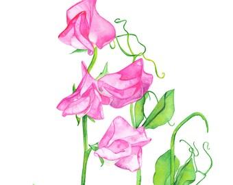 Sweet Peas watercolour painting, sweet peas print, SP13516, A3 size print, sweet pea watercolour painting, Botanical wall art