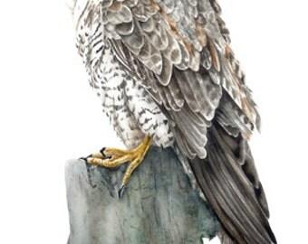Peregrine Falcon - Large fine art print, 16 x 11 in. Falcon painting, watercolour falcon, birdpainting, bird of prey wall art, wall decor