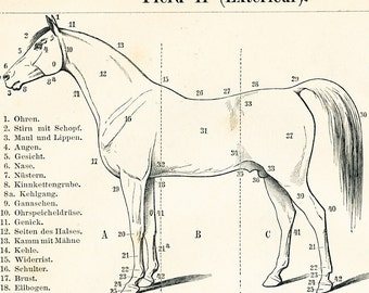 Horse anatomy print  horse skeleton print  horse muscle system leg problems leg anomalies : Antique 1890s original engraving old book plate