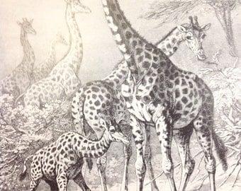 Antique print giraffe Africa wild animal mammal wildlife 1890s biology nature lithograph Specht