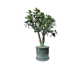 "Jade Plant Crassula Ovata 16 Year Old 32"" Tall Plant in a Green Ceramic Cylinder 12"" D Planter #388"