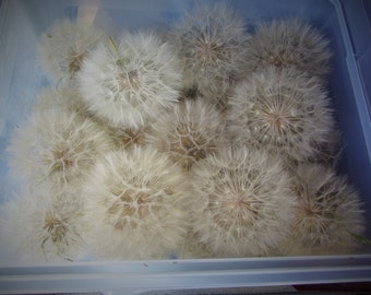 Salsify Seeds With Wisps Attached - Jewelry Making Supply - Huge Dandelion Like Seeds With Wisps