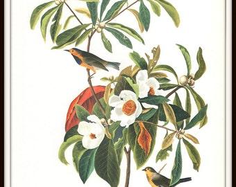 Audubon Bird Art Print, Bachman's Warbler, Nature Illustration, Collectible 1970s Vintage Lithograph, Wall Art, Home Decor